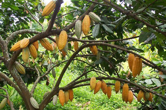 El árbol del cacao o cacaotero es nativo de las regiones tropicales y subtropicales de América