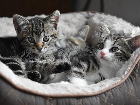 El ronroneo de los gatos