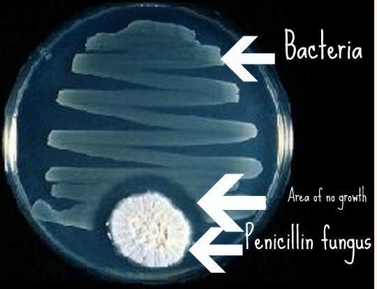El poder bactericida del hongo Penicillium chrysogenum es tal que evita el crecimiento de bacterias en la placa de Petri gracias a la producción de Penicilina G