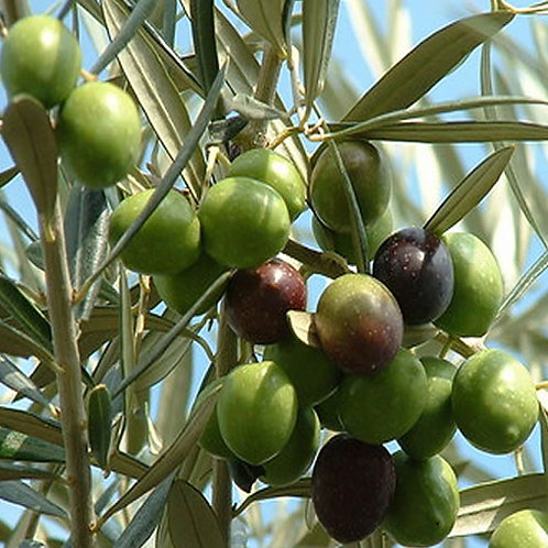 Olive Tree Olea Tolley's Upright