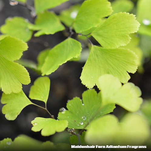 Maidenhair Fern (Adiantum Fragrans)