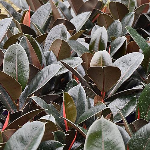 Ficus Burgandy (Rubber Tree)