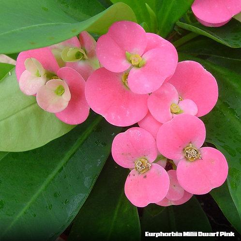 Europhorbia Milii Dwarf Pink