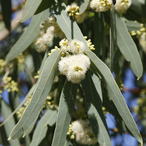 Eucalyptus Victrix Snow Queen