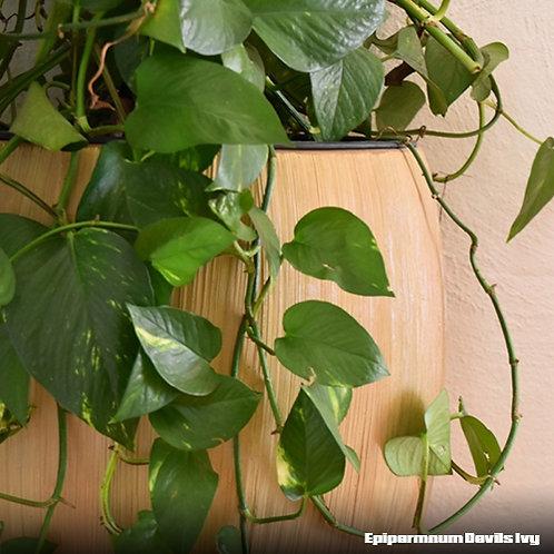 Epipernmum Devil's Ivy