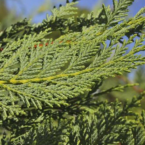 Leighton's Green Cypress