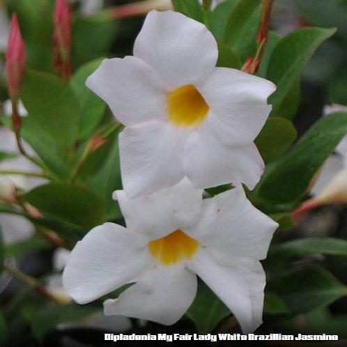 Dipladenia My Fair Lady White Brazellian Jasmine