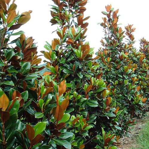 Magnolia Grandiflora Greenback