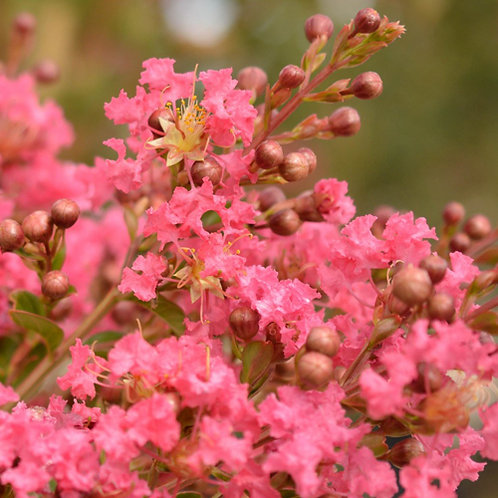 Crepe Myrtle (Lagerstroemia Indica Comanche)