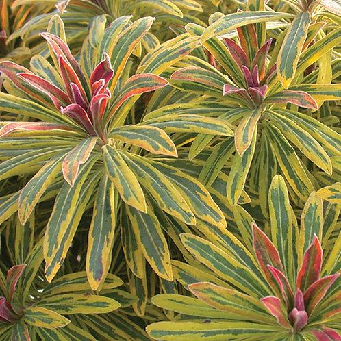Euphorbia Ascot Rainbow PBR