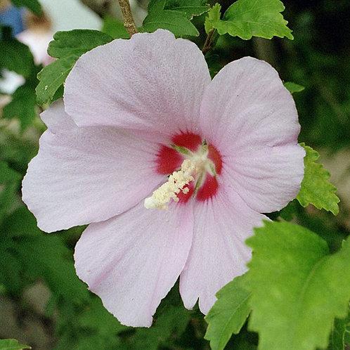 Hibiscus Aussie Delight PBR