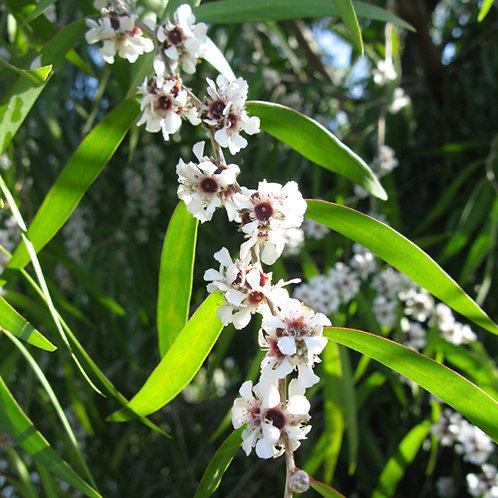 West Australian Weeping Peppermint