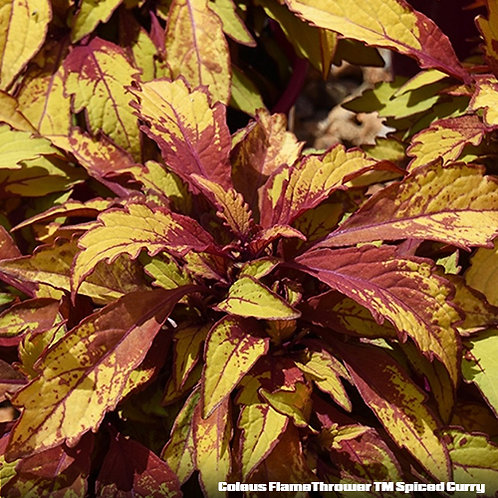 Coleus FlameThrower TM Spiced Curry
