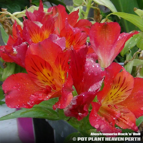 Alstroemeria Peruvian Lilly Rock 'n' Roll