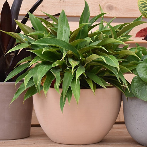 Philodendron 'PHIL01' (PBR) LittlePhil
