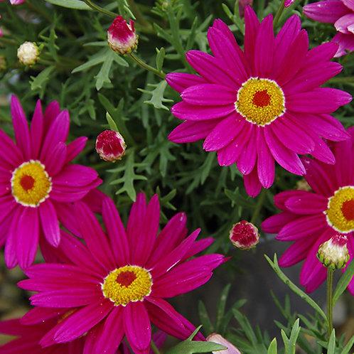 Argyranthemum Sublime Pink