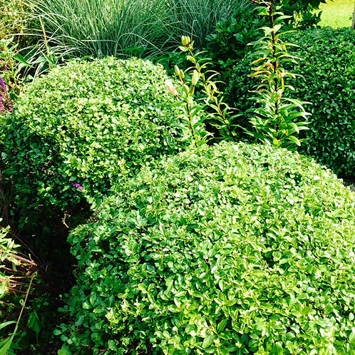 Pittosporum Golf Ball PBR