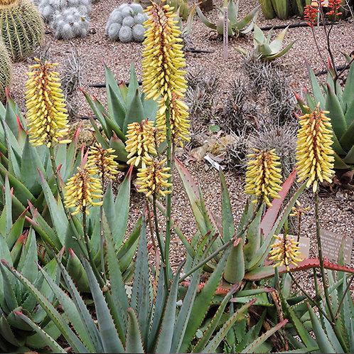Aloe Southern Cross