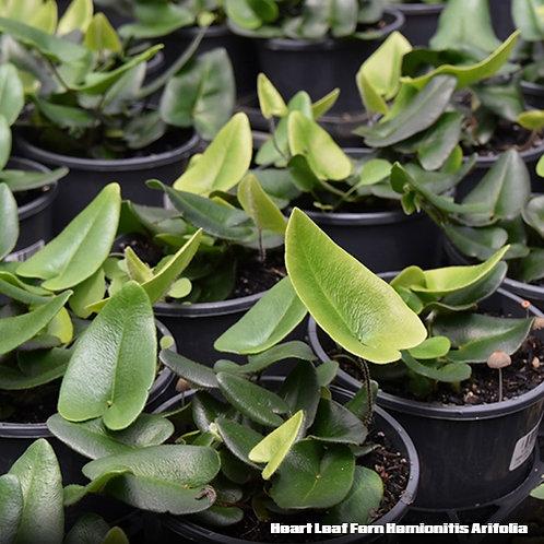 Heart Leaf Fern (Hemionitis Arifolia)