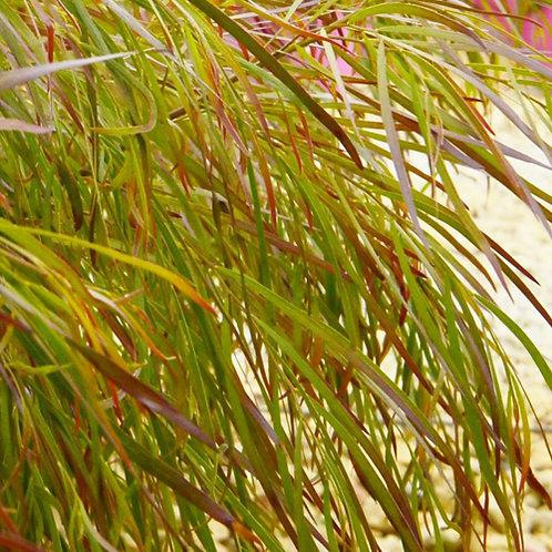 Acacia Burgandy Cascade