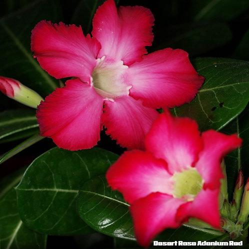 Desert Rose Adenium Red