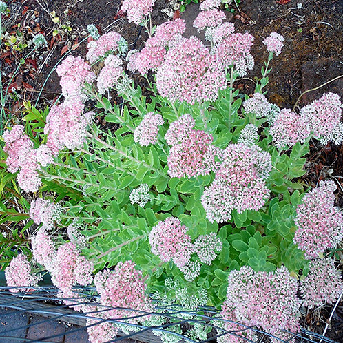 Sedum Mini Joy