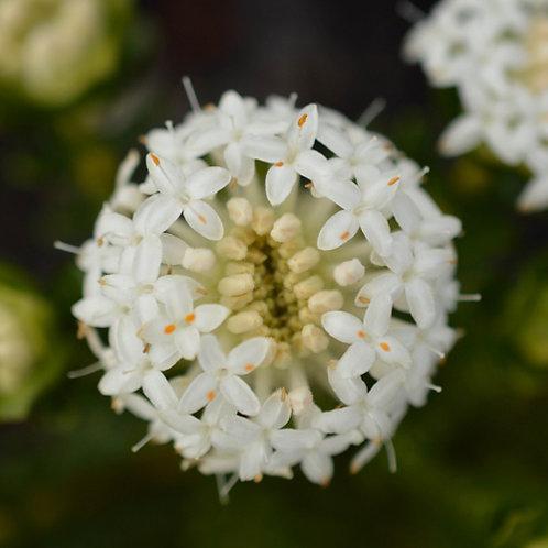 Pimelia Ferruginae White Solitaire
