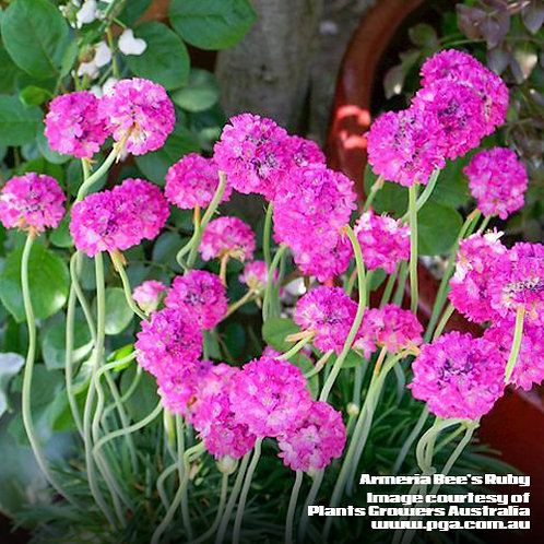 Armeria Bee's Ruby