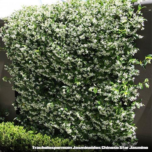 Trachelospermum Jasminoides Chinese Star Jasmine