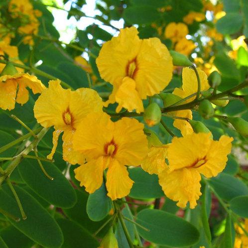 Pride of Bolivia Rosewood Tree