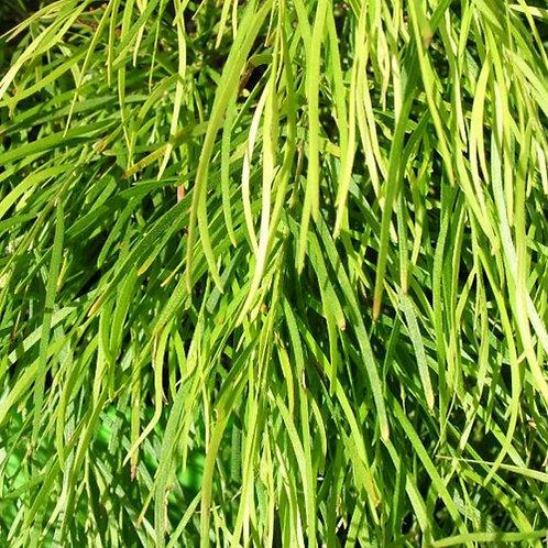Acacia Limelight PBR