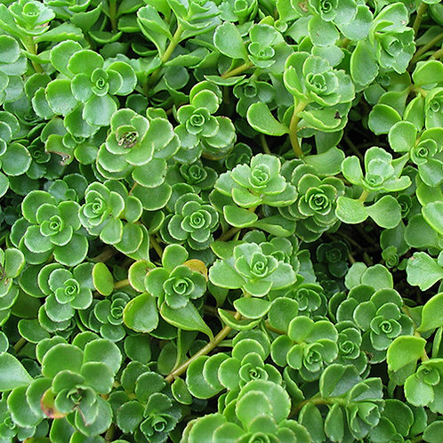 Sedum Mini Green