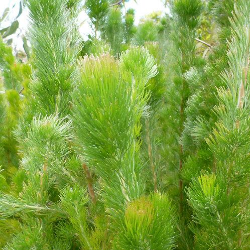 Wooly Bush (Adenanthos Sericea Select)