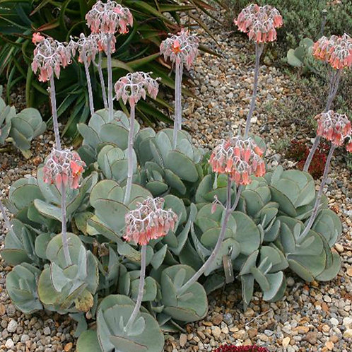 Cotyledon Orbiculata Delight