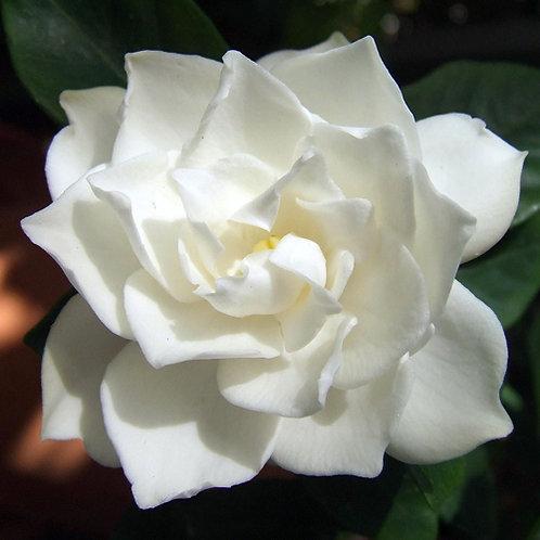 Gardenia Romance