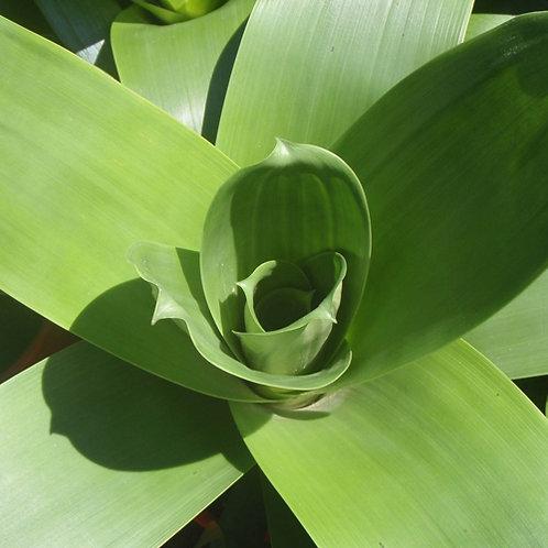 Giant Bromeliad Jjulietta