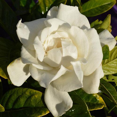Gardenia Gold Magic