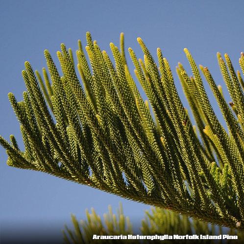 Araucaria Heterophylla Norfolk Island Pine