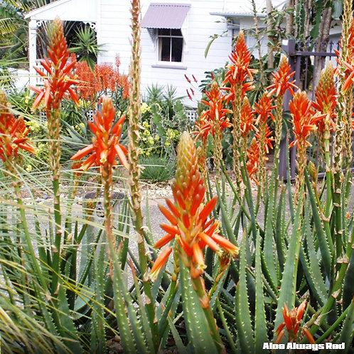 Aloe Always Red