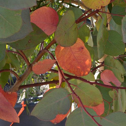 Eucalyptus Rudis (Flooded Gum)