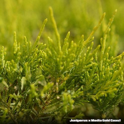 Juniperus x Media Gold Coast