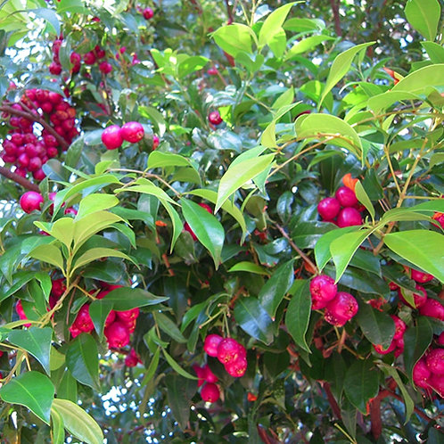Lilly Pilly Bush Cherry