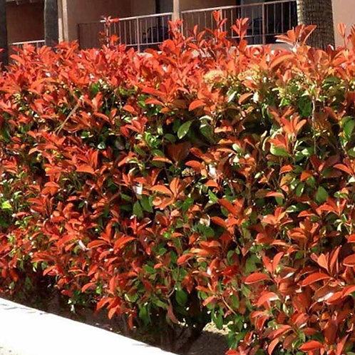 Photinia Red Fence
