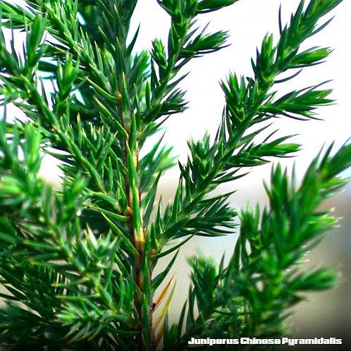 Juniperus Chinese Pyramindalis