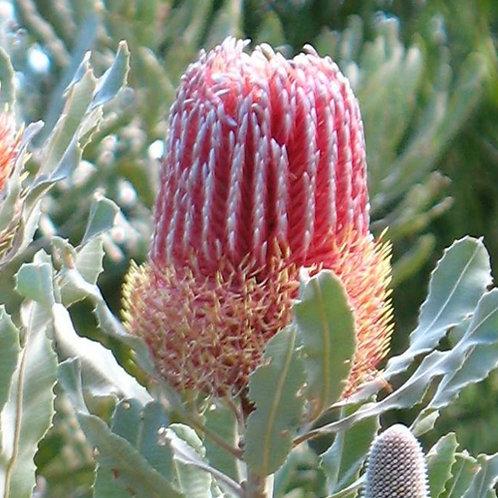 Firwood Banksia