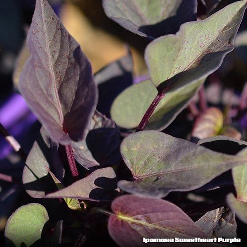 Ipomea Sweetheart Purple