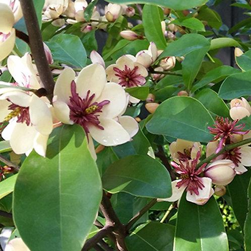 Magnolia White Caviar PBR
