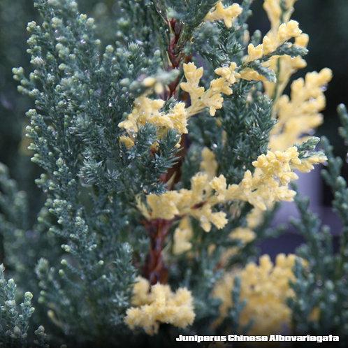 Juniperus Chinese Albovariegata