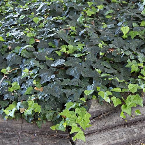 Canary Island Ivy