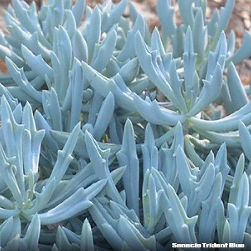 Senecio Trident Blue